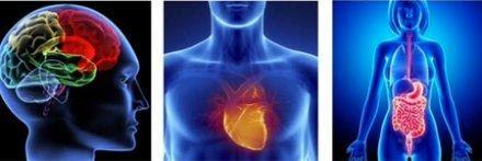 Les 3 cerveaux : Tête, coeur, ventre
